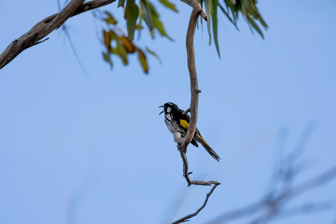 New Holland Honeyeater in a tree