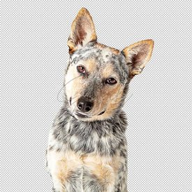 Close-Up Attentive Cattle Dog Tilting Head Extracted