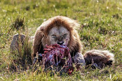 Male Lion Eating Wildebeest Carcass
