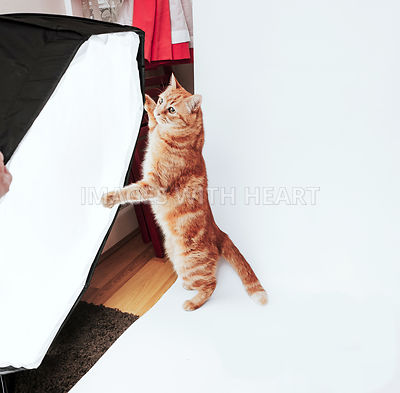 Ginger cat on hind legs adjusting softbox