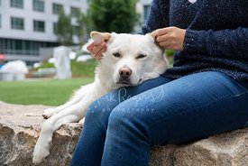 Womans hands holding and rubbing the ears of a large white German Shepherd Mix dog as it lays its head on her lap and looks a...