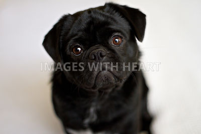 Black Pug closeup