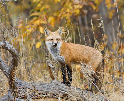 Red Fox with Fall Color