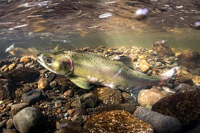 Pink Salmon Spawning sequence 1-04