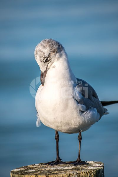 A white and grey Laughing Gull in Anna Maria Island, Florida