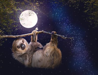 Cute Sloth Hanging on Branch in Evening