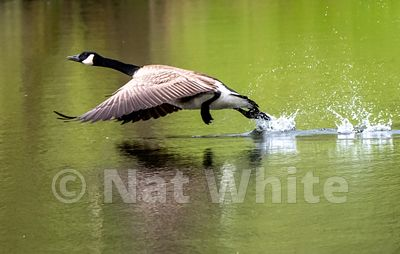 Goose_wings_and_splash_May_04_2021_NAW1662NAT_WHITE