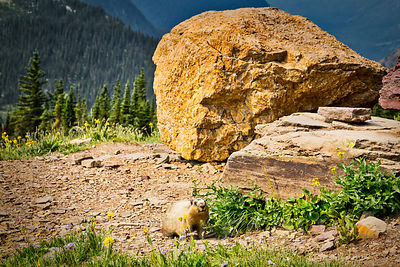 Marmot on Hidden Lake Trail #2