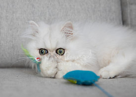 Persian Kitten with Feather Toy and Paws over Nose