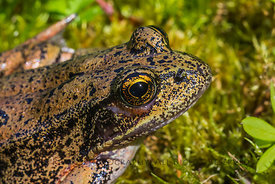 Northern Red-legged Frog, Rana aurora