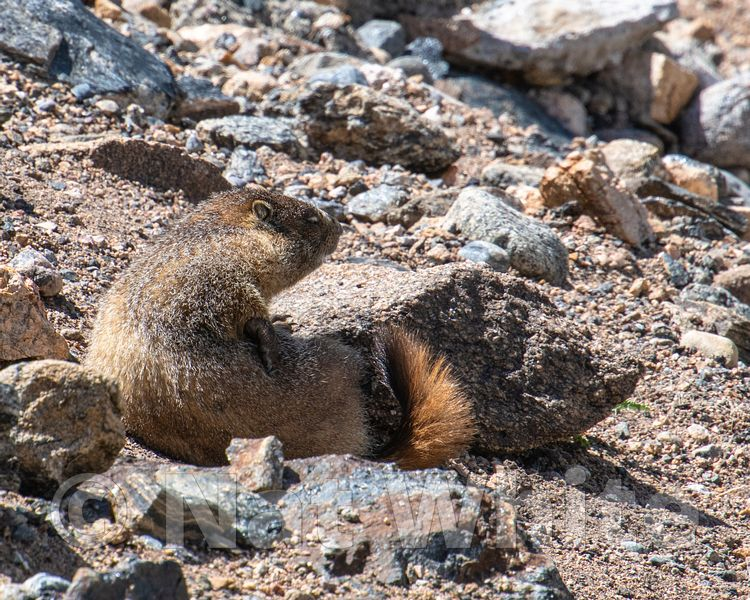 Marmot_RMNP-Filename_number_suffix-_1July_24_2019_
