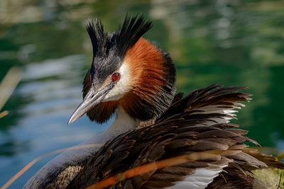 Crested Grebe, Podiceps cristatus, in Lake Wanaka. Grebes have slowly been re-introduced to parts of New Zealand.