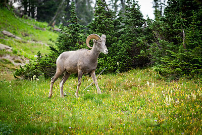 Bighorn Sheep at Logan Pass #4