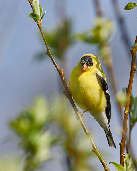 American-Goldfinch-2557761-Full