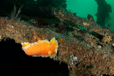 Orange Peel Nudibranch, Tochuina gigantea, on part of a S.S. Themis ship wreck at the north end of Browning Pass.