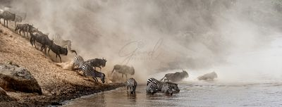 Great Migration Wildebeest Crossing Mara River in Kenya