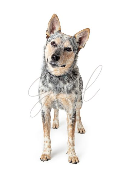 Australian Cattle Dog Standing Facing Forward