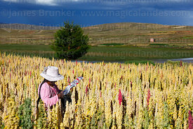 Aymara woman tying reflective foil on quinoa plants (Chenopodium quinoa) to scare birds away under a stormy sky, Bolivia