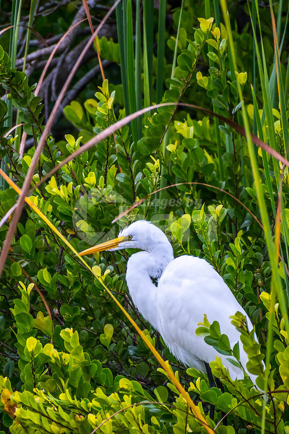 A Great White Egret in Everglades National Park, Florida
