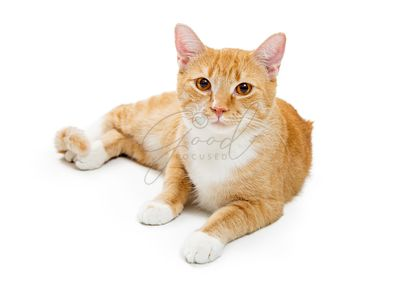 Orange Tabby Young Cat Lying Down Looking Forward