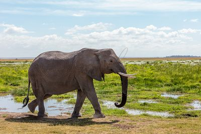 African Elephant Walking in Amboseli Kenya
