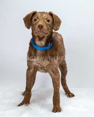 Brown puppy with mange head lifted on white background