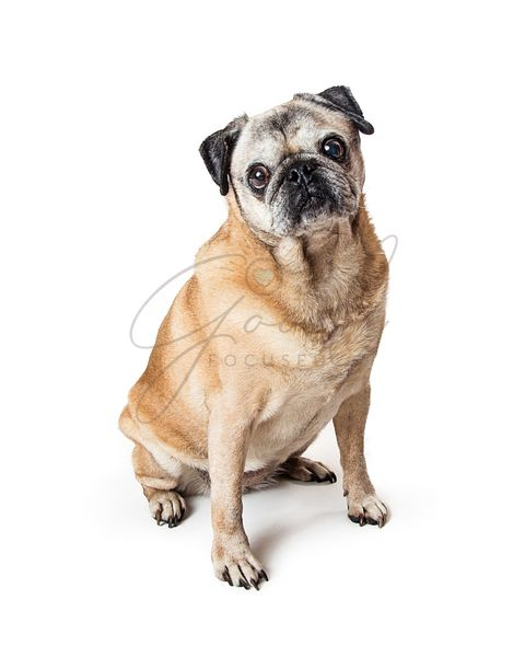 Purebred pug dog sitting on white