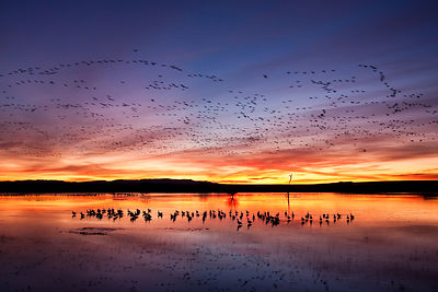 Sunrise with Snow Geese