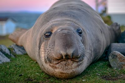 Closeup of male Elephant Seal, Mirounga angustirostris, at Race Rocks, Vancouver Island.