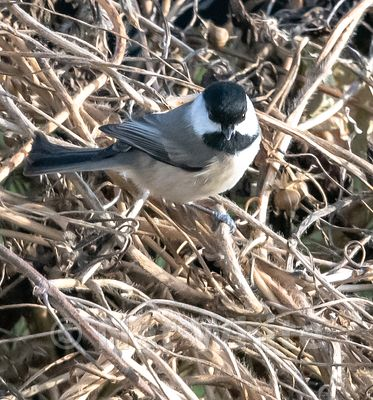 RC_Chickadee_Date_(November_24_2020Month_DD_YYYY)1_2000_sec_at_f_5.6_