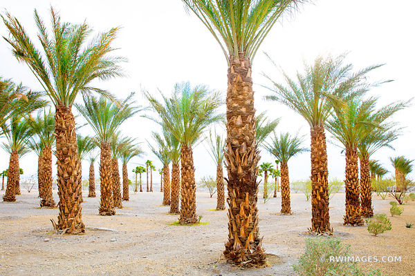 DATE PALMS OASIS DATES, DEATH VALLEY CALIFORNIA
