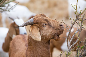 Close-up in Profile of Brown Goat Grazing