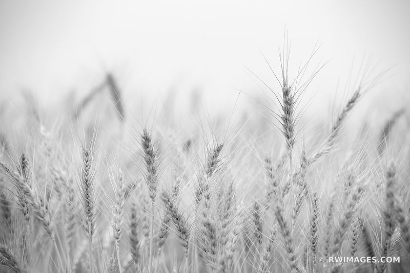 EARS OF WHEAT FIELD PALOUSE EASTERN WASHINGTON STATE BLACK AND WHITE