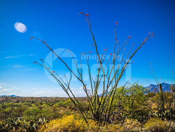 A spiny stems Ocotillo in Saguaro National Park, Arizona