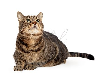 Cute Brown Tabby Cat Lying Looking Up