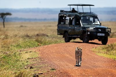 Cheetah Walking Down African Safari Road