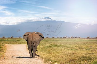 Elephant Walking Away to Mt Kilimanjaro