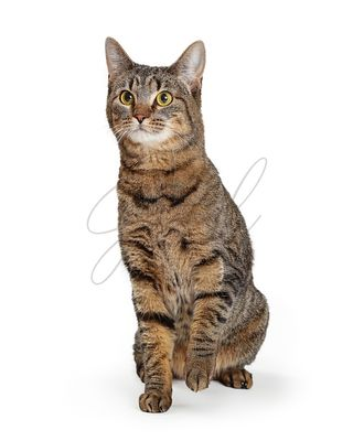 Brown Tabby Cat Lifting Paw