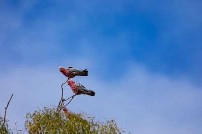 Galahs on a branch high up in a tree