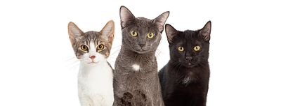 Three Cute Cats White Web Banner