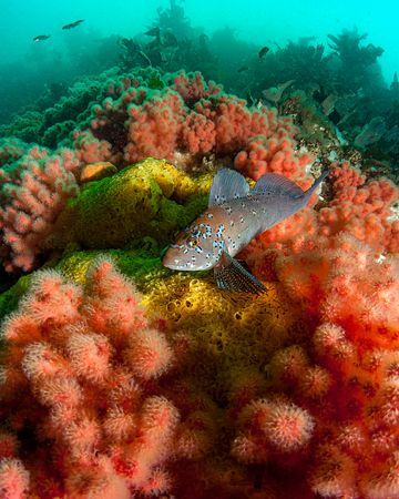 Male Kelp Greenling surveying its territory while resting on Sea Strawberry soft corals in Browning Pass