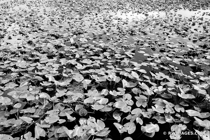 WATER LILY PADS ANHINGA TRAIL EVERGLADES FLORIDA BLACK AND WHITE