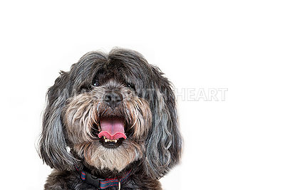 Lhaso Apso Head Shot White Background Smiling