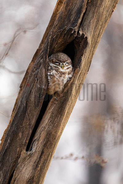 Spotted Owl (Athene brama) Sleeping at Nest Cavity