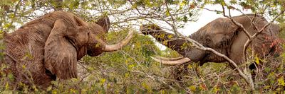 Two Elephants Eating From Trees