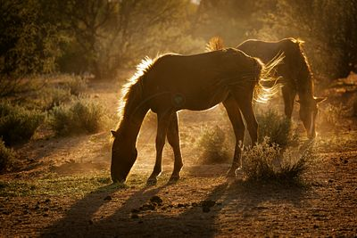 Arizona Wild Horses Backlit By Morning Sun