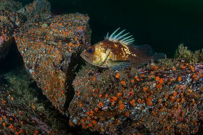 Quillback Rockfish, Sebastes maliger, on a rock covered in Orange Cup Coral.