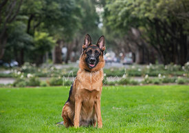German Shepherd Sitting in Grassy Area with Trees