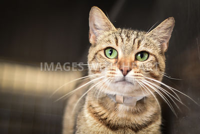 Brown tabby looking at camera