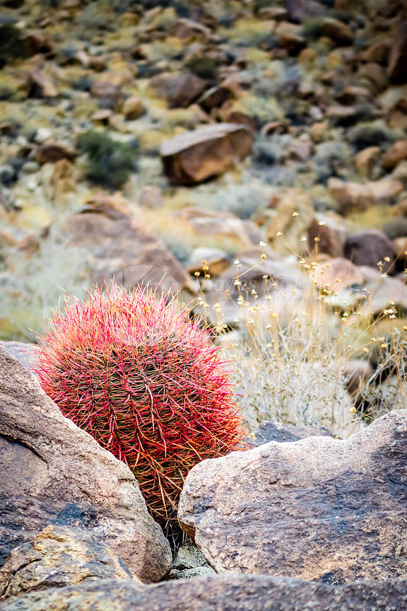 Red Barrel Cactus in Joshua Tree National Park